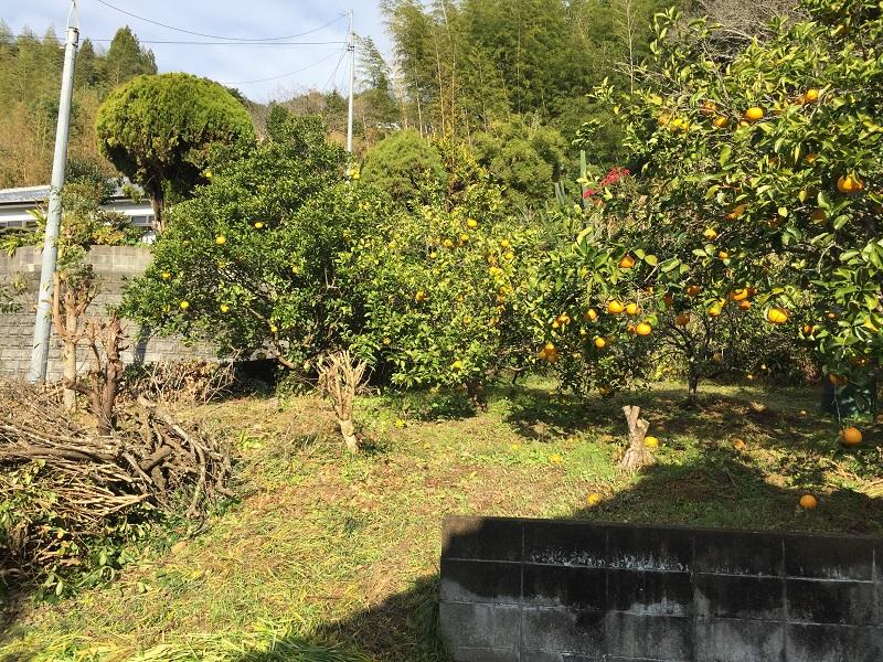 敷地内には柑橘類の木々が実をつけています